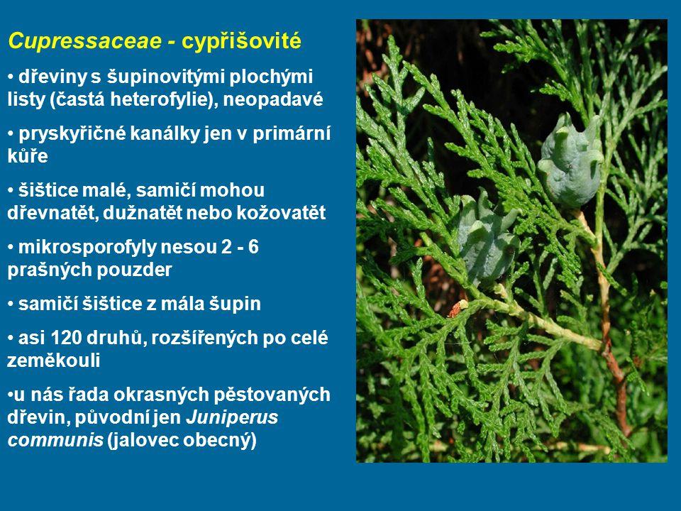 Cupressaceae - cypřišovité dřeviny s šupinovitými plochými listy (častá heterofylie), neopadavé pryskyřičné kanálky jen v primární kůře šištice malé, samičí mohou dřevnatět, dužnatět nebo kožovatět mikrosporofyly nesou 2 - 6 prašných pouzder samičí šištice z mála šupin asi 120 druhů, rozšířených po celé zeměkouli u nás řada okrasných pěstovaných dřevin, původní jen Juniperus communis (jalovec obecný)