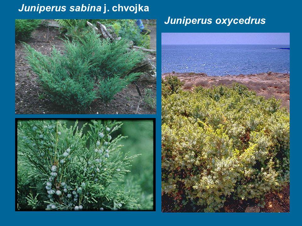 Juniperus oxycedrus Juniperus sabina j. chvojka