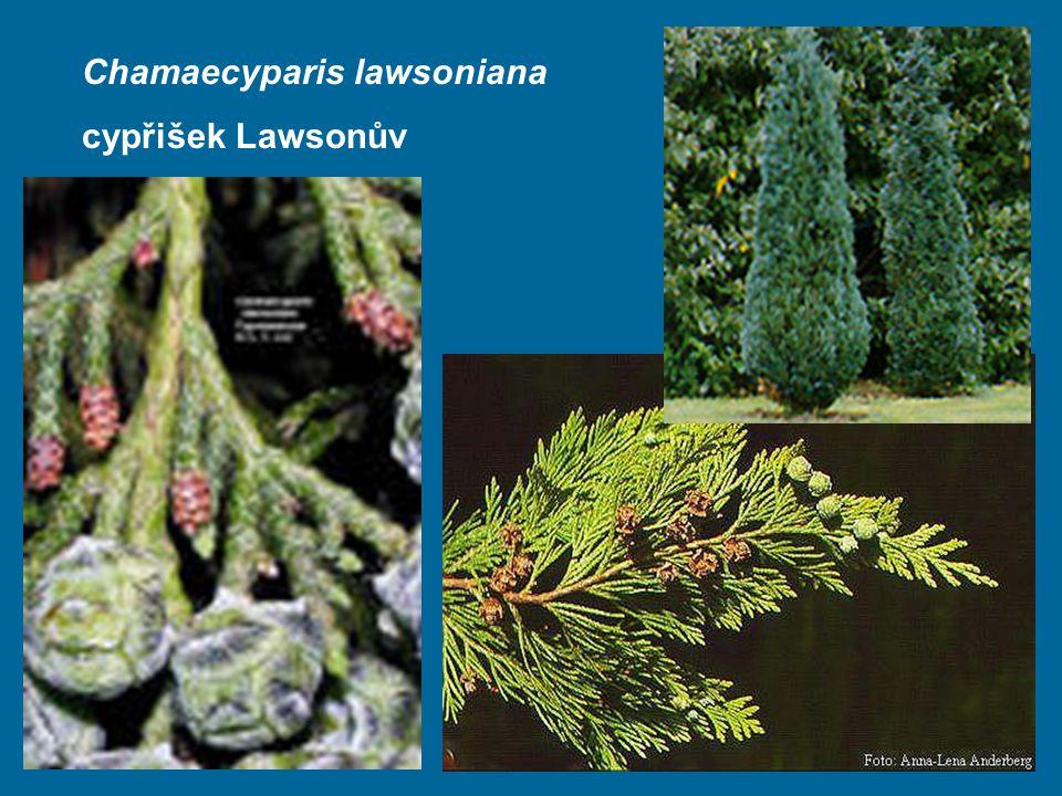 Chamaecyparis lawsoniana cypřišek Lawsonův
