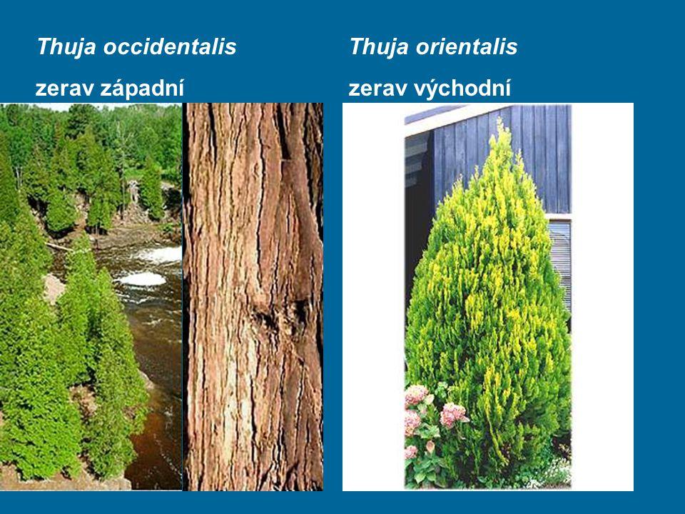 Thuja occidentalis Thuja orientalis zerav západní zerav východní
