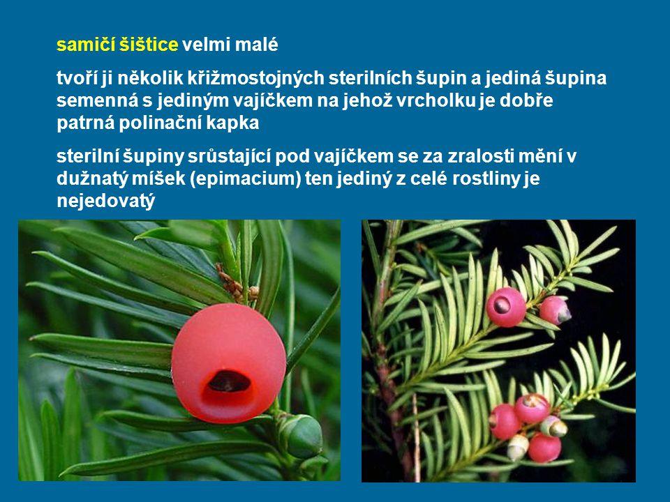 samičí šištice velmi malé tvoří ji několik křižmostojných sterilních šupin a jediná šupina semenná s jediným vajíčkem na jehož vrcholku je dobře patrná polinační kapka sterilní šupiny srůstající pod vajíčkem se za zralosti mění v dužnatý míšek (epimacium) ten jediný z celé rostliny je nejedovatý