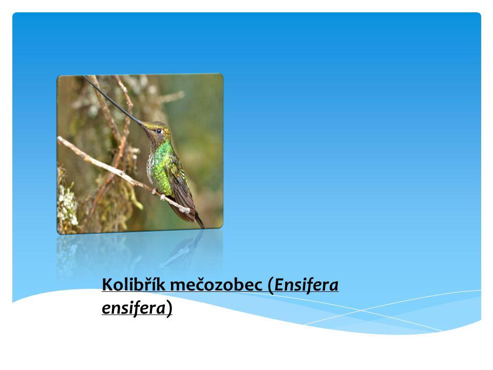 - hnízdí na jihovýchodě Norska, v jižním Švédsku, severním a východním Dánsku, západní, jihozápadní, stední a severovýchodní Evropa a severní Maroko a Alžírsko v severní Africea střední Asie a zimuje v Anglii, Francii, Íránu a severozápadní Indii - Jsou aktivní ve dne - Živí se např.: hmyzem, pavoukama, plžema, mršinama, a bezobratlé živočichy - Kladou 4-5 vajec - Starají se oba