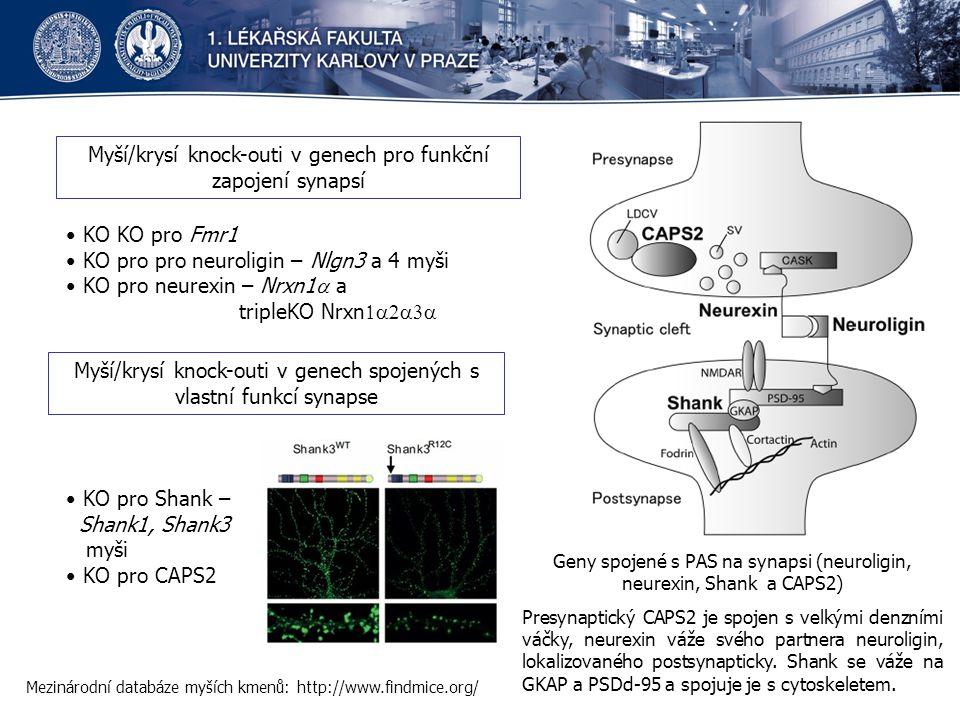 Mezinárodní databáze myších kmenů: http://www.findmice.org/ Myší/krysí knock-outi v genech pro funkční zapojení synapsí Myší/krysí knock-outi v genech spojených s vlastní funkcí synapse Geny spojené s PAS na synapsi (neuroligin, neurexin, Shank a CAPS2) Presynaptický CAPS2 je spojen s velkými denzními váčky, neurexin váže svého partnera neuroligin, lokalizovaného postsynapticky.