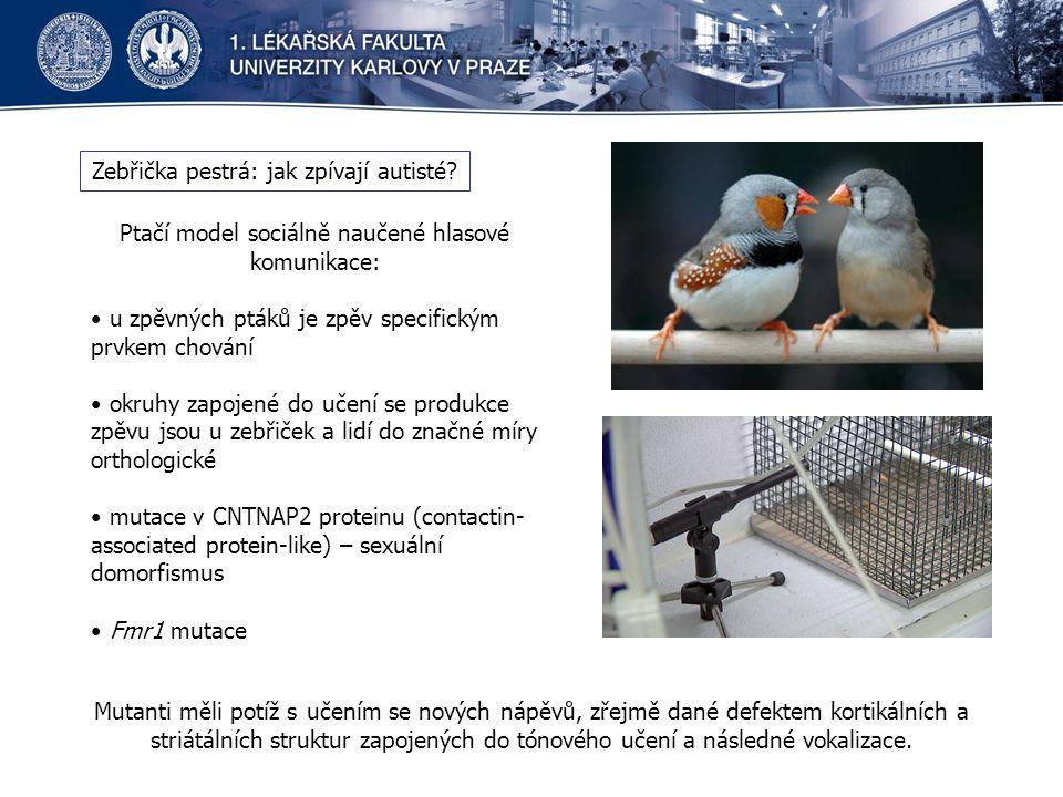 Zebřička pestrá: jak zpívají autisté? Ptačí model sociálně naučené hlasové komunikace: u zpěvných ptáků je zpěv specifickým prvkem chování okruhy zapo