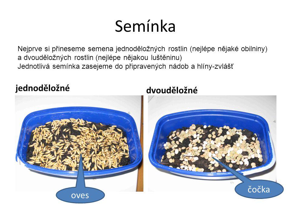 Semínka jednoděložné dvouděložné Nejprve si přineseme semena jednoděložných rostlin (nejlépe nějaké obilniny) a dvouděložných rostlin (nejlépe nějakou luštěninu) Jednotlivá semínka zasejeme do připravených nádob a hlíny-zvlášť čočka oves