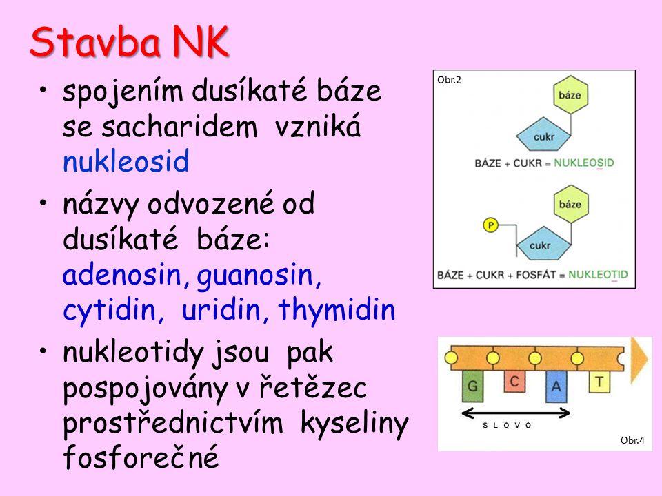 Stavba NK spojením dusíkaté báze se sacharidem vzniká nukleosid názvy odvozené od dusíkaté báze: adenosin, guanosin, cytidin, uridin, thymidin nukleotidy jsou pak pospojovány v řetězec prostřednictvím kyseliny fosforečné Obr.4