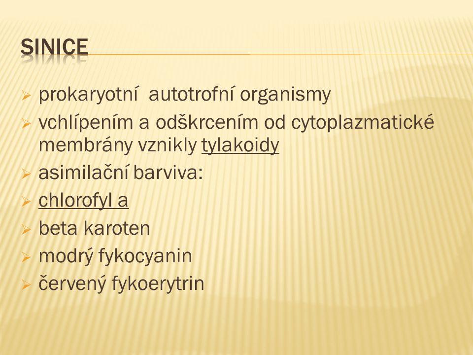  zásobní látka u sinic: sinicový škrob  buňky uloženy ve slizové pochvě  jednobuněčné sinice:  vývojově starší  jednobuněčné sinice se rozmnožují dělením  po dělení zůstávají pohromadě spojené slizem  vláknité sinice:  vývojově mladší  vyvinutá pochva > buňky uloženy za sebou  vláknité sinice se rozmnožují hormogonií