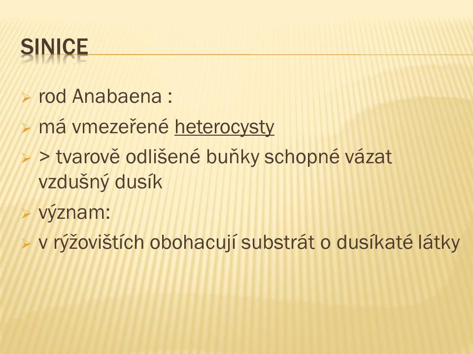  rod Anabaena :  má vmezeřené heterocysty  > tvarově odlišené buňky schopné vázat vzdušný dusík  význam:  v rýžovištích obohacují substrát o dusíkaté látky