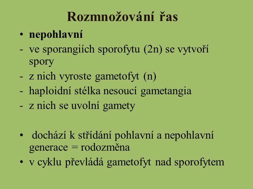 Rozmnožování řas nepohlavní -ve sporangiích sporofytu (2n) se vytvoří spory -z nich vyroste gametofyt (n) -haploidní stélka nesoucí gametangia -z nich