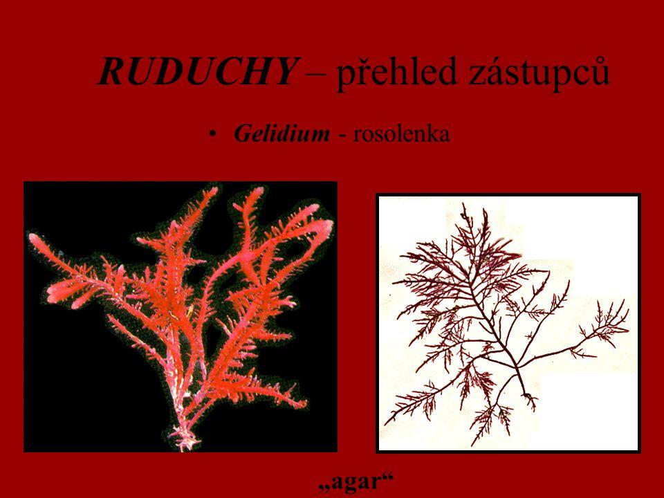 "RUDUCHY – přehled zástupců Gelidium - rosolenka ""agar"""