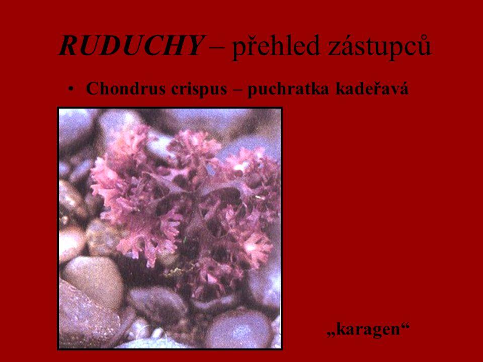 "RUDUCHY – přehled zástupců Chondrus crispus – puchratka kadeřavá ""karagen"""