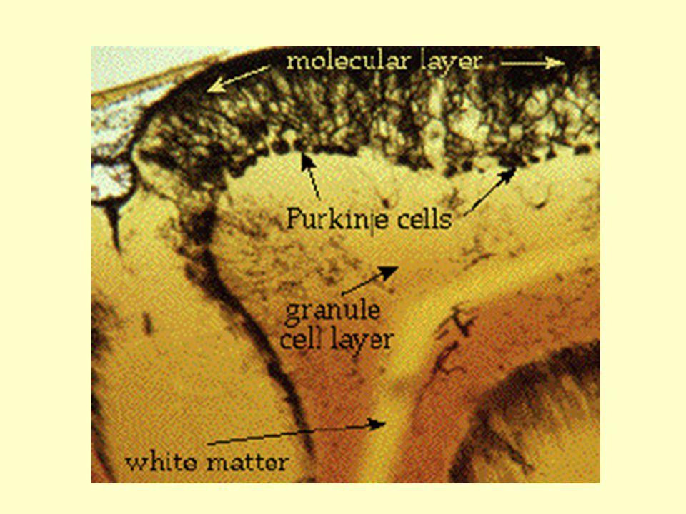 Mozeček, obecné okruhy Vstupy  odbočka k jádru a pak Mechová vlákna (nepřímá excitace) Šplhavá vlákna (přímá excitace) Purkyňovy bb.