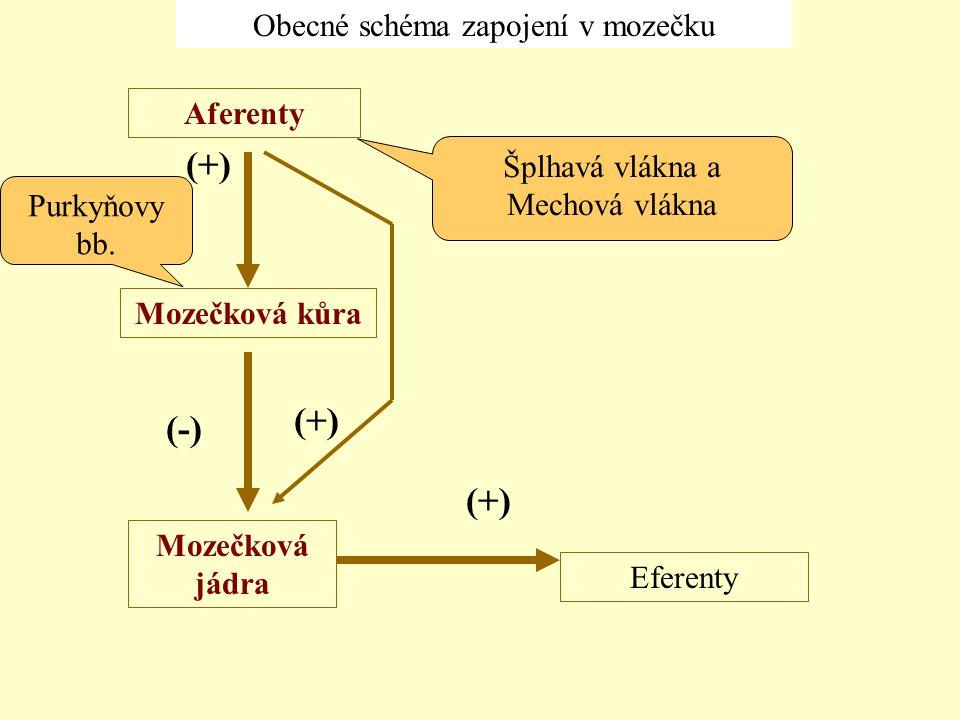 Šplhavá vlákna a Mechová vlákna Purkyňovy bb. Obecné schéma zapojení v mozečku Aferenty Mozečková jádra Eferenty Mozečková kůra (+) (-)