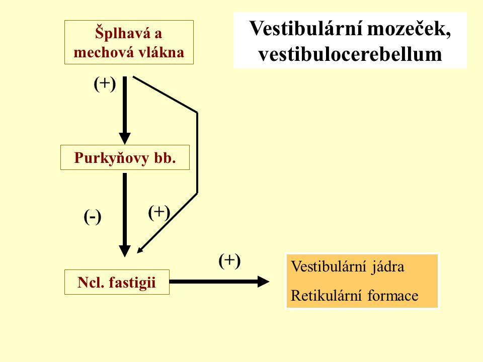 Šplhavá a mechová vlákna Ncl. fastigii Purkyňovy bb. (+) (-) Vestibulární mozeček, vestibulocerebellum Vestibulární jádra Retikulární formace