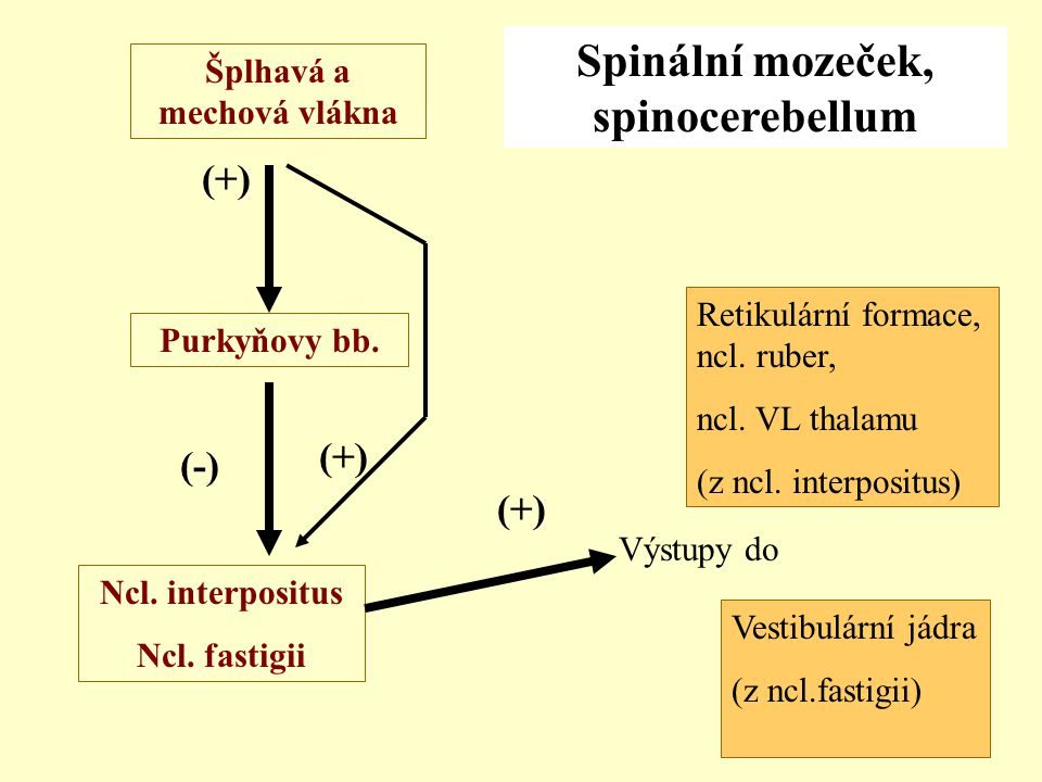 Šplhavá a mechová vlákna Ncl. interpositus Ncl. fastigii Výstupy do Purkyňovy bb. (+) (-) Spinální mozeček, spinocerebellum Vestibulární jádra (z ncl.