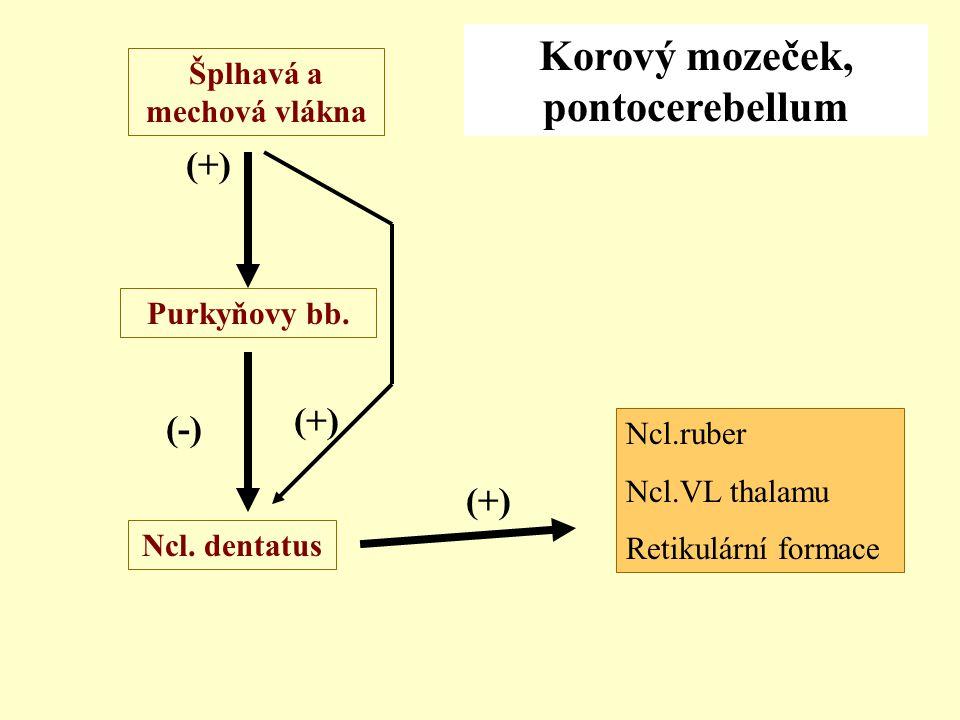 Šplhavá a mechová vlákna Ncl. dentatus Purkyňovy bb. (+) (-) Korový mozeček, pontocerebellum Ncl.ruber Ncl.VL thalamu Retikulární formace