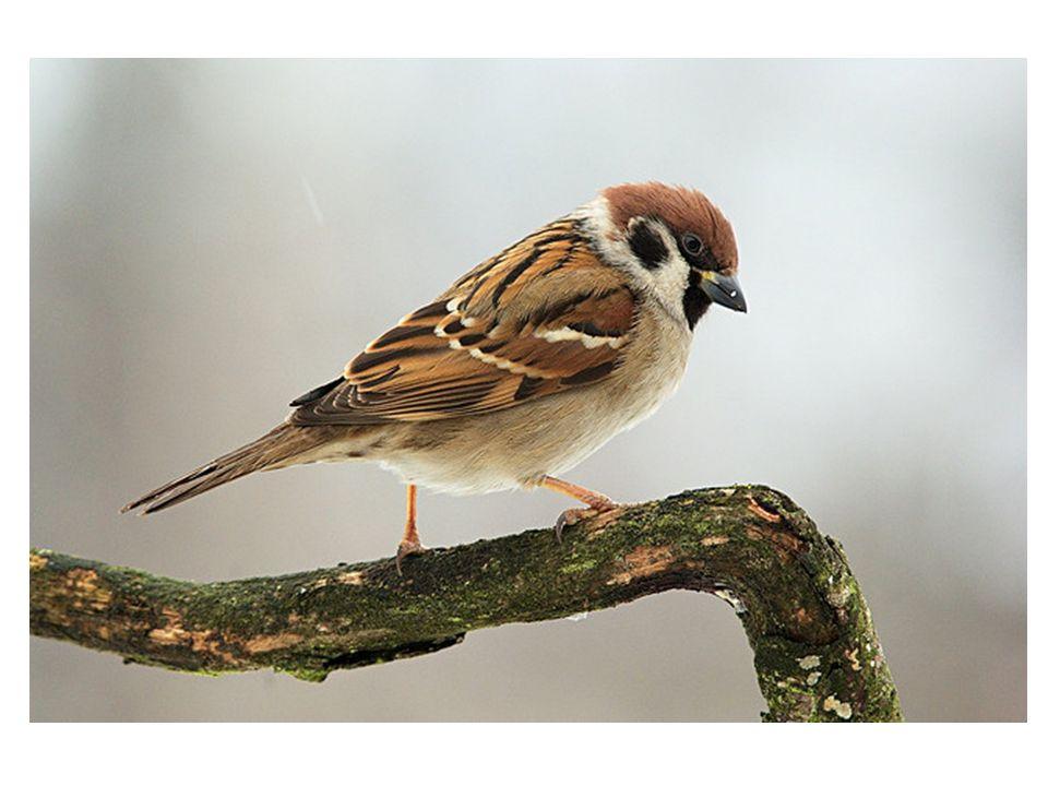 A tak Kryšpín zase sledoval ptáčky na krmítku.Zrovna tam přiletěl rozčepýřený vrabčák.
