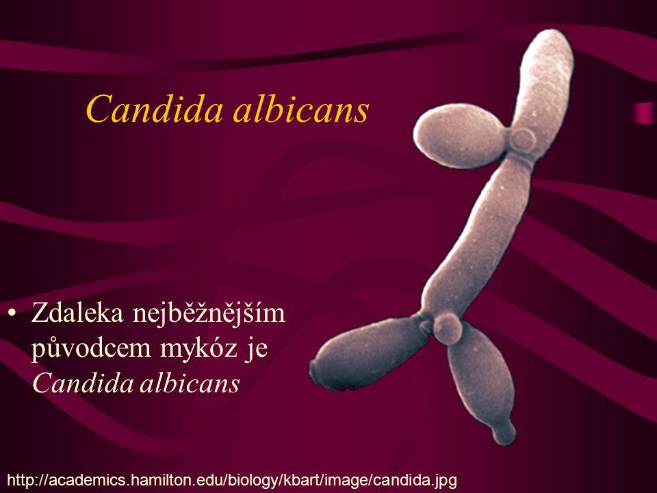 Candida albicans Zdaleka nejběžnějším původcem mykóz je Candida albicans http://academics.hamilton.edu/biology/kbart/image/candida.jpg