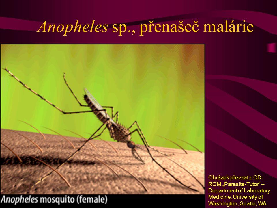 """Anopheles sp., přenašeč malárie Obrázek převzat z CD- ROM """"Parasite-Tutor"""" – Department of Laboratory Medicine, University of Washington, Seatle, WA"""