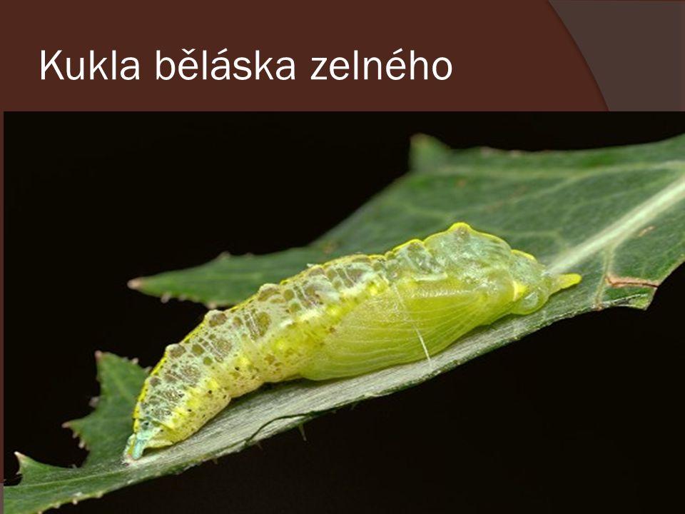 Kukla běláska zelného