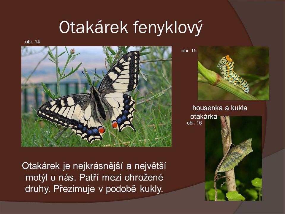 Otakárek fenyklový Otakárek je nejkrásnější a největší motýl u nás.