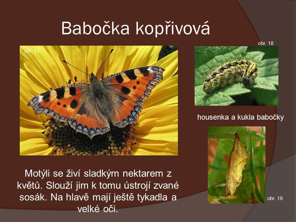 Babočka kopřivová Motýli se živí sladkým nektarem z květů.