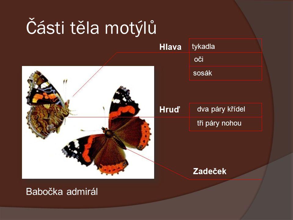 Části těla motýlů Hlava tykadla oči sosák Hruď dva páry křídel tři páry nohou Zadeček obr.