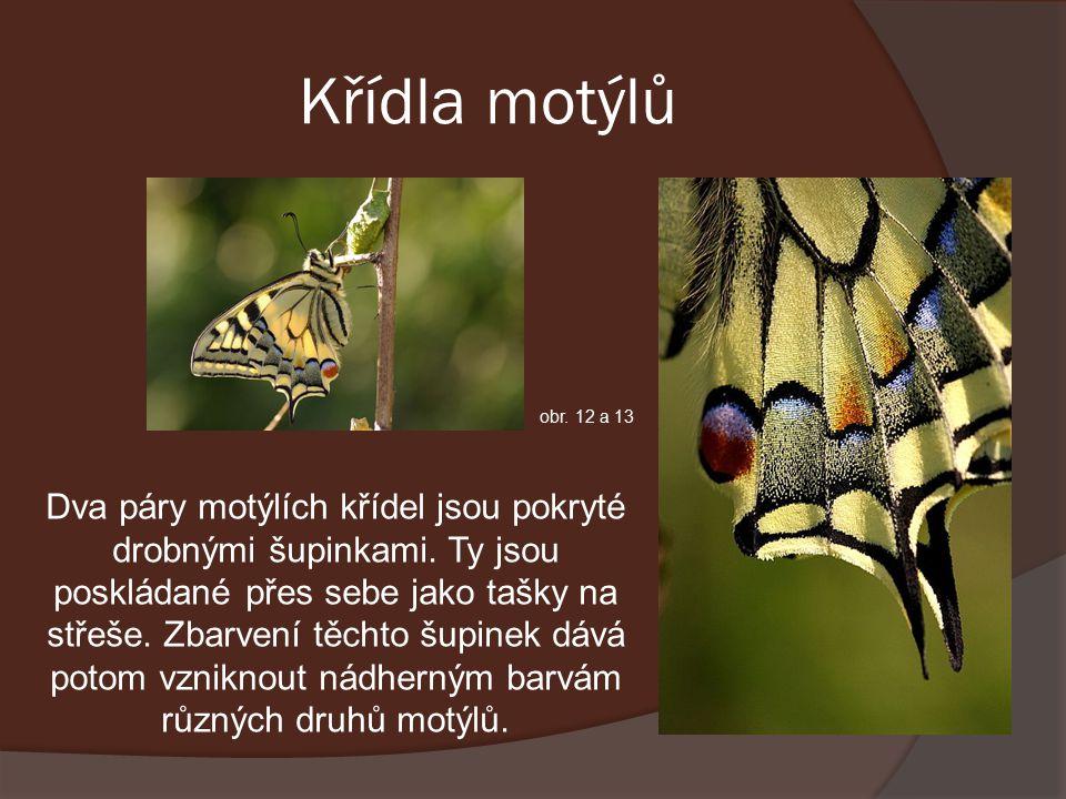 Křídla motýlů Dva páry motýlích křídel jsou pokryté drobnými šupinkami.