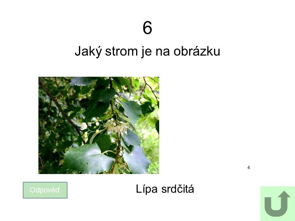 6 Jaký strom je na obrázku Odpověď Lípa srdčitá 4.