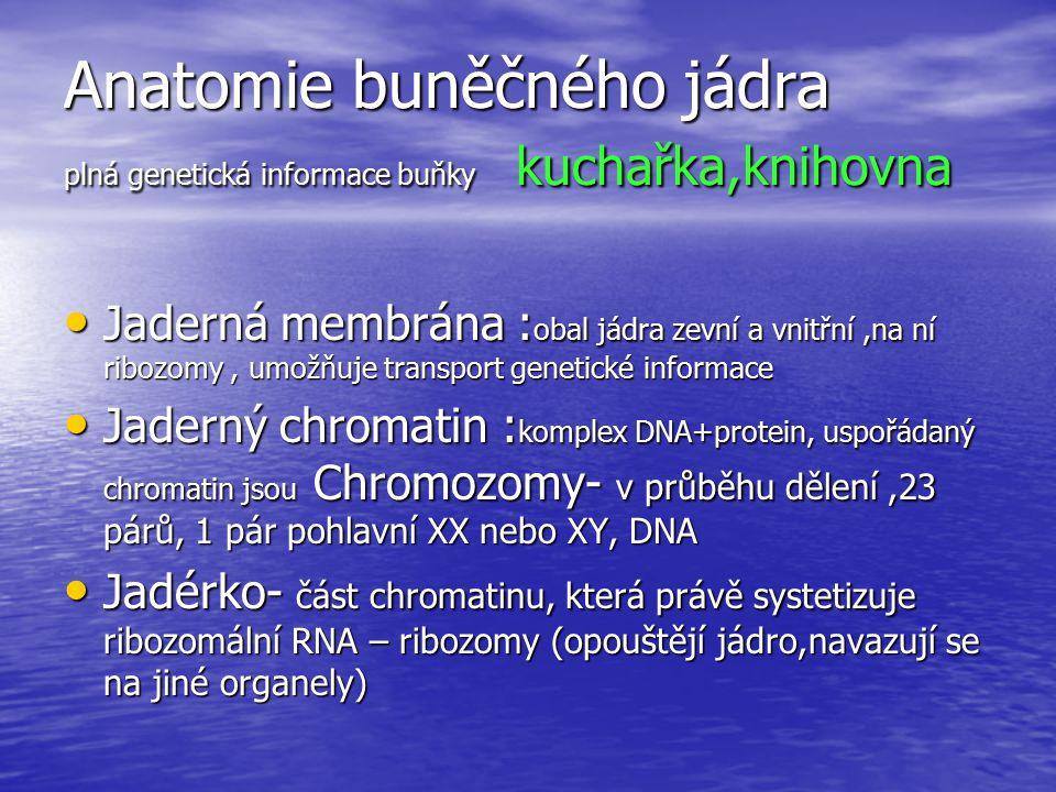 Anatomie buněčného jádra plná genetická informace buňky kuchařka,knihovna Jaderná membrána : obal jádra zevní a vnitřní,na ní ribozomy, umožňuje trans