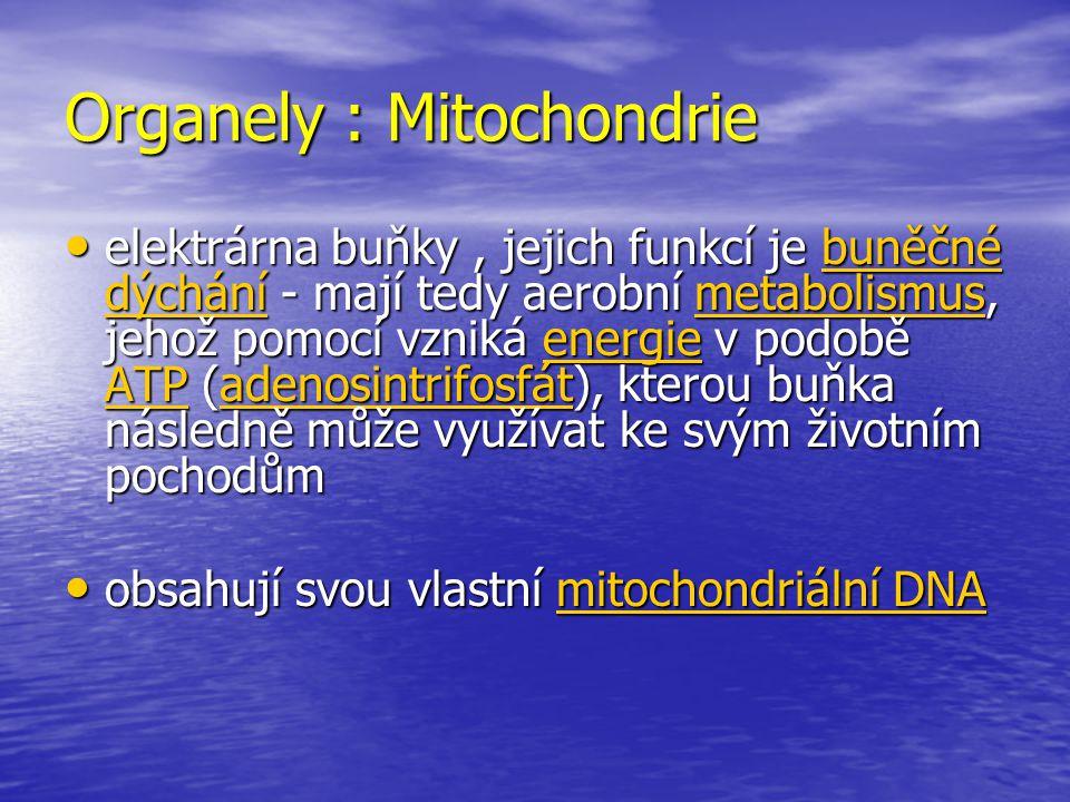 Organely : Mitochondrie elektrárna buňky, jejich funkcí je buněčné dýchání - mají tedy aerobní metabolismus, jehož pomocí vzniká energie v podobě ATP