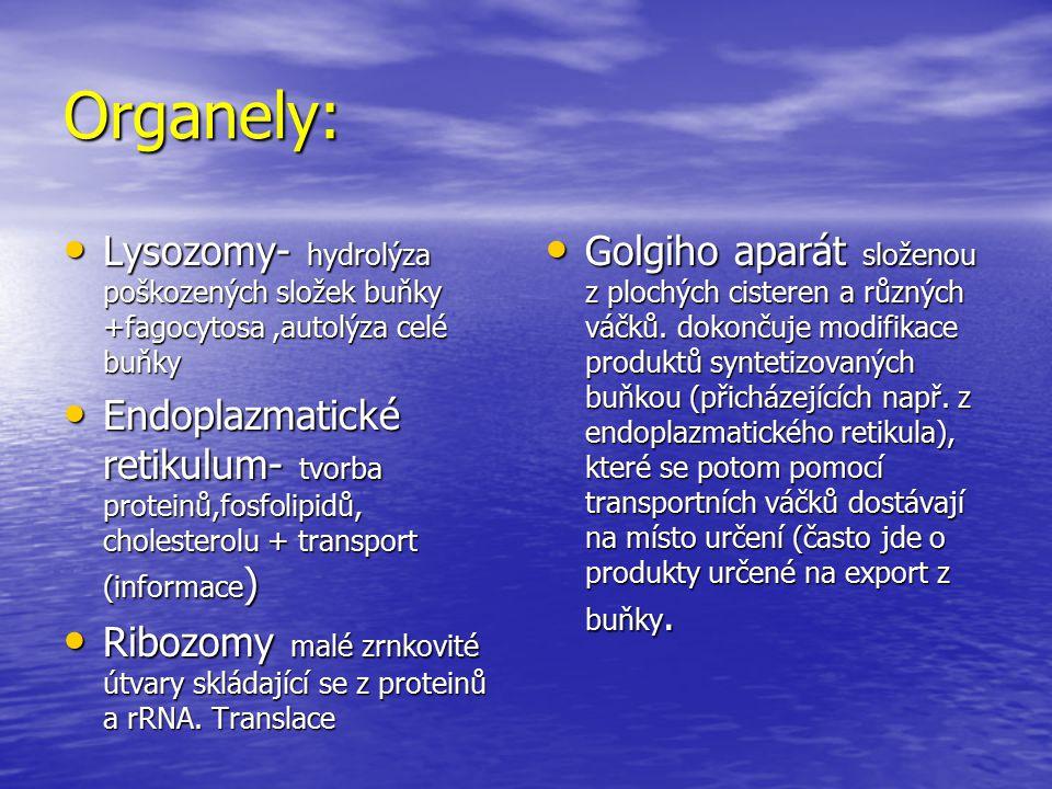 Organely: Lysozomy- hydrolýza poškozených složek buňky +fagocytosa,autolýza celé buňky Lysozomy- hydrolýza poškozených složek buňky +fagocytosa,autolý