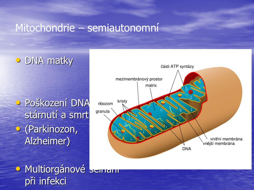 Mitochondrie – semiautonomní DNA matky DNA matky Poškození DNA – stárnutí a smrt Poškození DNA – stárnutí a smrt (Parkinozon, Alzheimer) (Parkinozon,