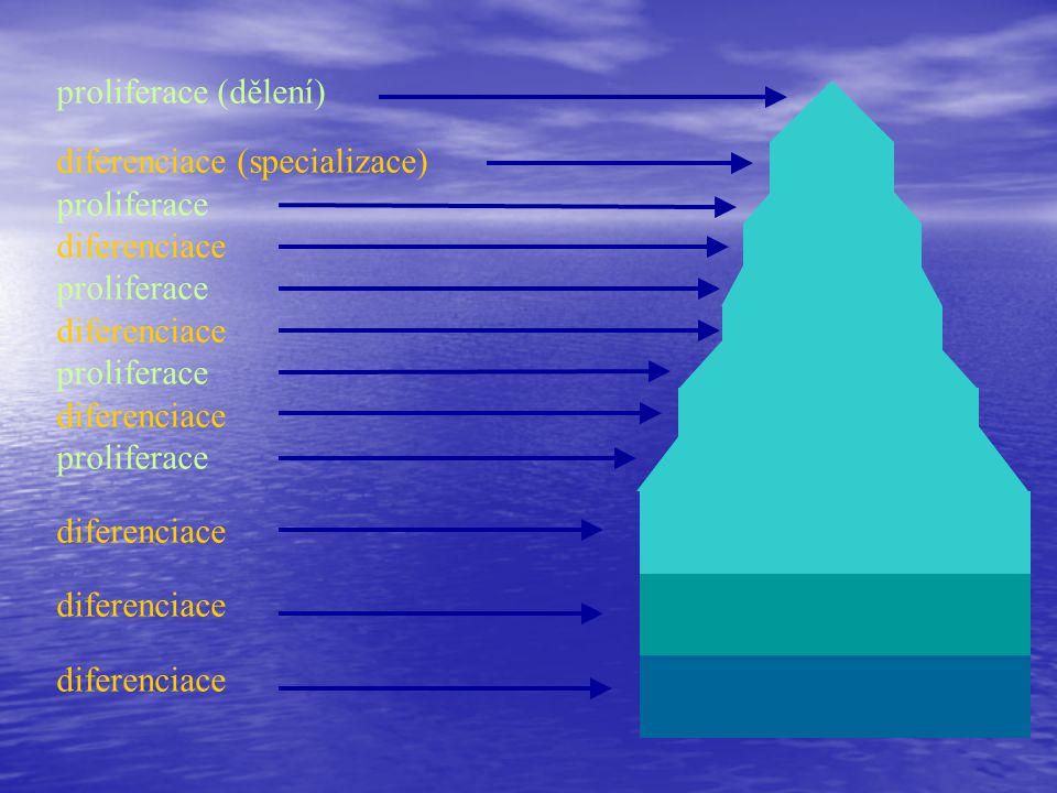 proliferace (dělení) diferenciace (specializace) proliferace diferenciace proliferace diferenciace proliferace diferenciace proliferace diferenciace
