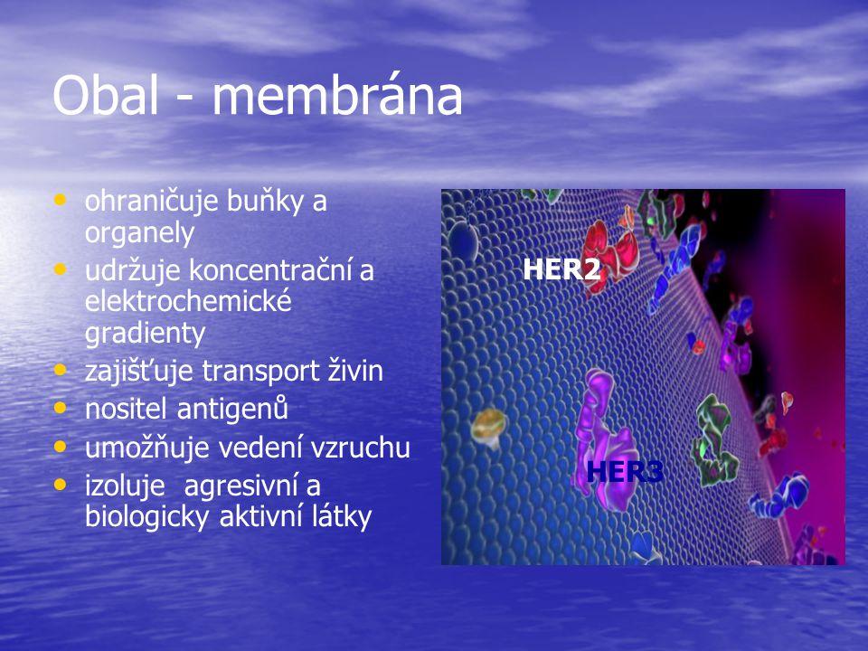 Obal - membrána ohraničuje buňky a organely udržuje koncentrační a elektrochemické gradienty zajišťuje transport živin nositel antigenů umožňuje veden