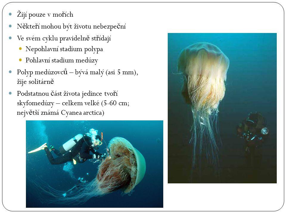 Žijí pouze v mo ř ích N ě kte ř í mohou být životu nebezpe č ní Ve svém cyklu pravideln ě st ř ídají Nepohlavní stadium polypa Pohlavní stadium medúzy
