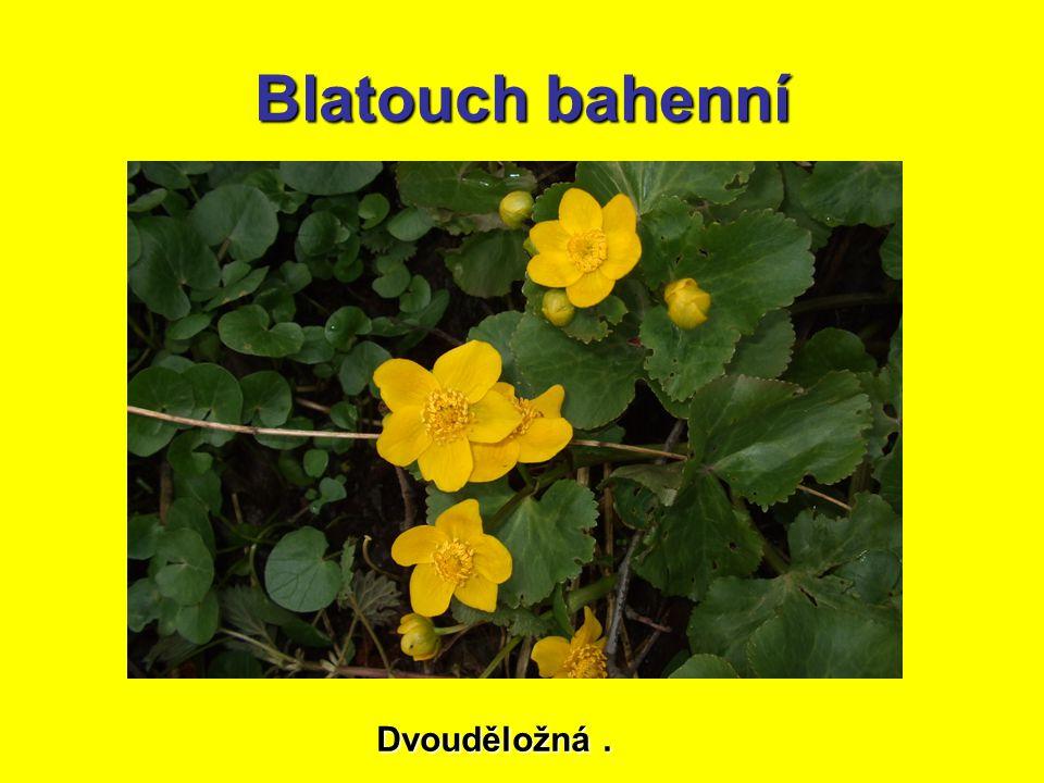 Blatouch bahenní Dvouděložná.