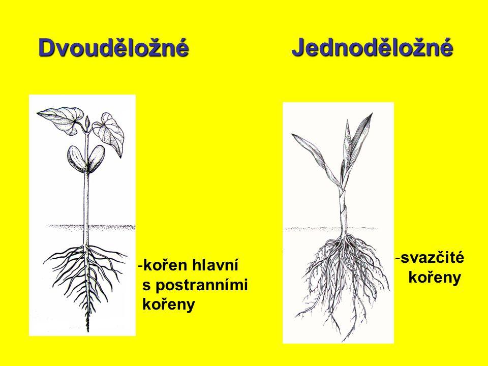 Dvouděložné Jednoděložné - -kořen hlavní s postranními kořeny - -svazčité kořeny