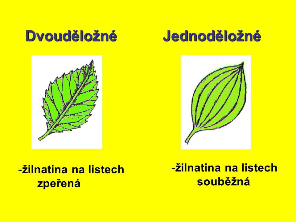 DvouděložnéJednoděložné - -žilnatina na listech zpeřená - -žilnatina na listech souběžná