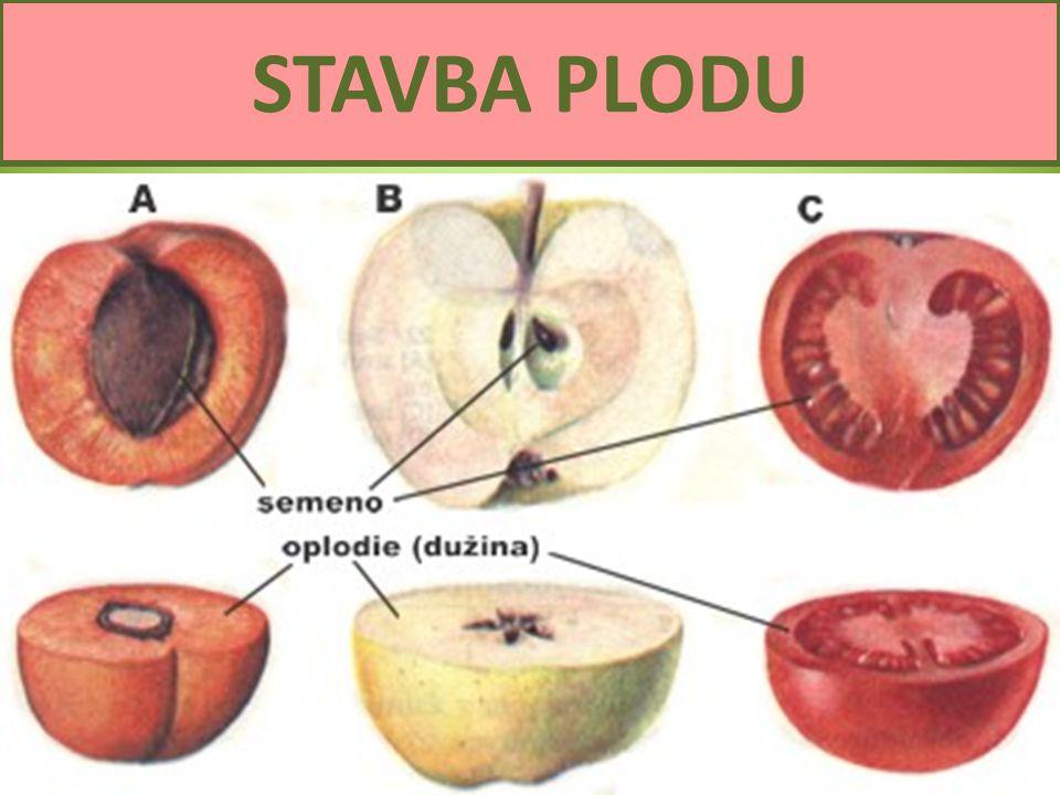 Semena a plody4 STAVBA PLODU