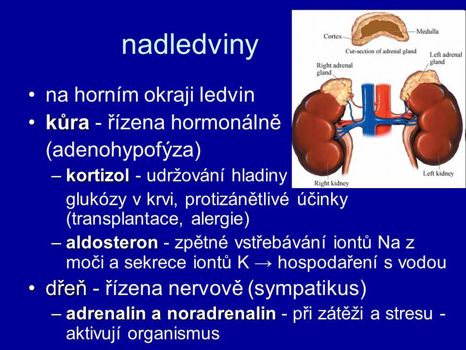 nadledviny na horním okraji ledvin kůrakůra - řízena hormonálně (adenohypofýza) –kortizol –kortizol - udržování hladiny glukózy v krvi, protizánětlivé