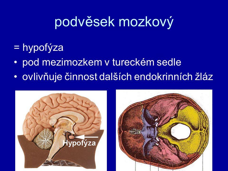 podvěsek mozkový přední lalokpřední lalok = adenohypofýza –somatotropin –somatotropin - růstový hormon (gigantismus/nanismus) –prolaktin –prolaktin - mléčná žláza, tvorba mléka –nadledviny, štítná žláza, pohlavní žlázy zadní lalokzadní lalok = neurohypofýza –antidiuretický –antidiuretický hormon (ADH) - zvyšuje zpětné vstřebávání vody –oxytocin –oxytocin - stahy dělohy při porodu, mlékovodů při kojení