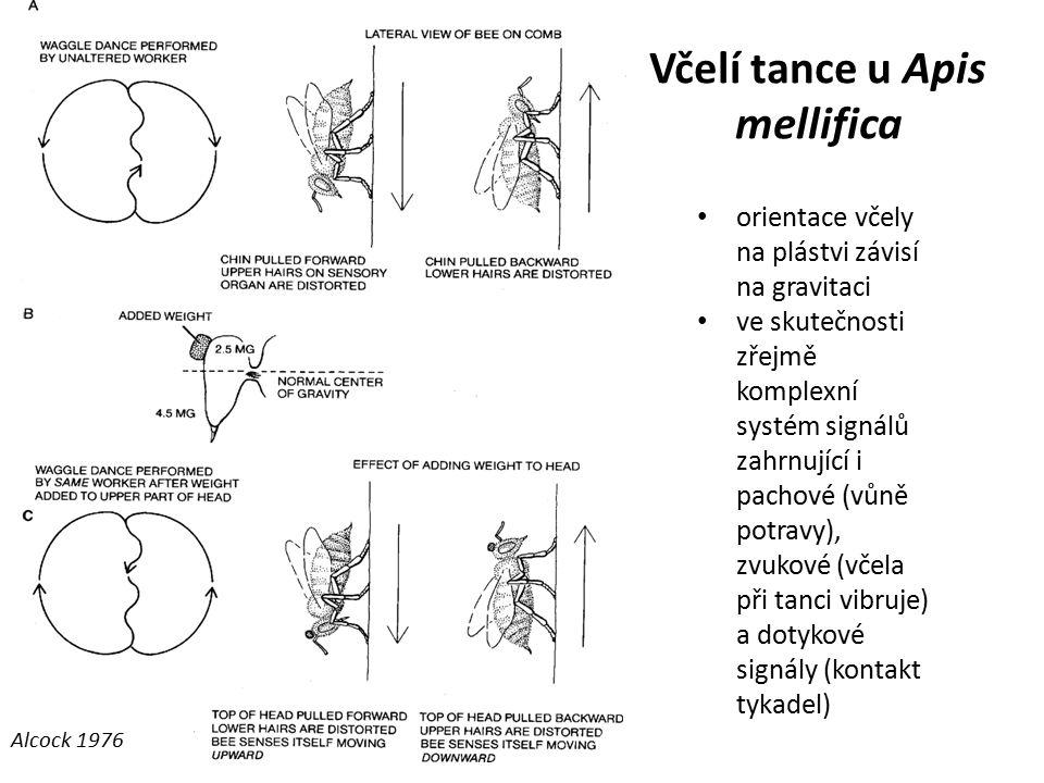 Včelí tance u Apis mellifica orientace včely na plástvi závisí na gravitaci ve skutečnosti zřejmě komplexní systém signálů zahrnující i pachové (vůně