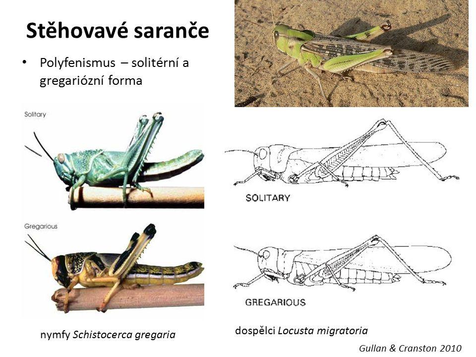 Stěhovavé saranče Polyfenismus – solitérní a gregariózní forma Gullan & Cranston 2010 nymfy Schistocerca gregaria dospělci Locusta migratoria