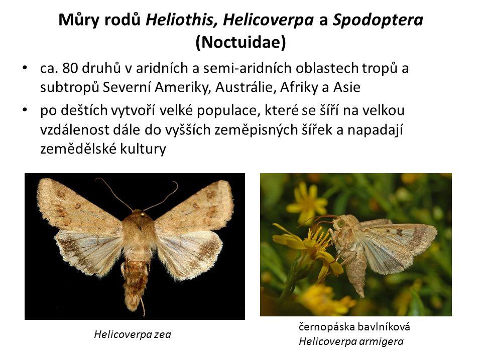 Můry rodů Heliothis, Helicoverpa a Spodoptera (Noctuidae) ca. 80 druhů v aridních a semi-aridních oblastech tropů a subtropů Severní Ameriky, Austráli