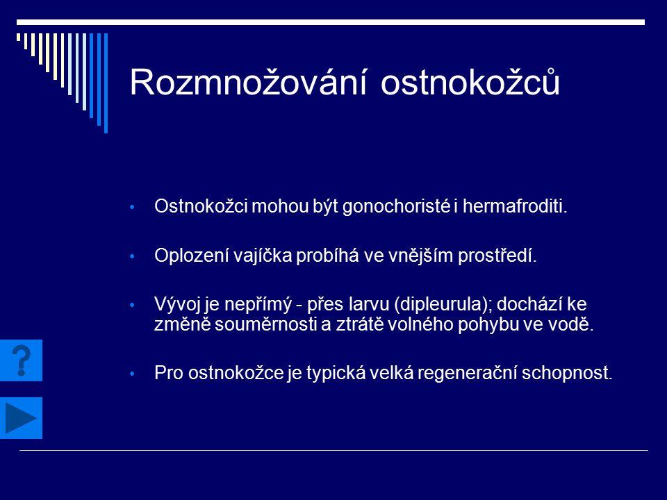 Rozmnožování ostnokožců Ostnokožci mohou být gonochoristé i hermafroditi. Oplození vajíčka probíhá ve vnějším prostředí. Vývoj je nepřímý - přes larvu