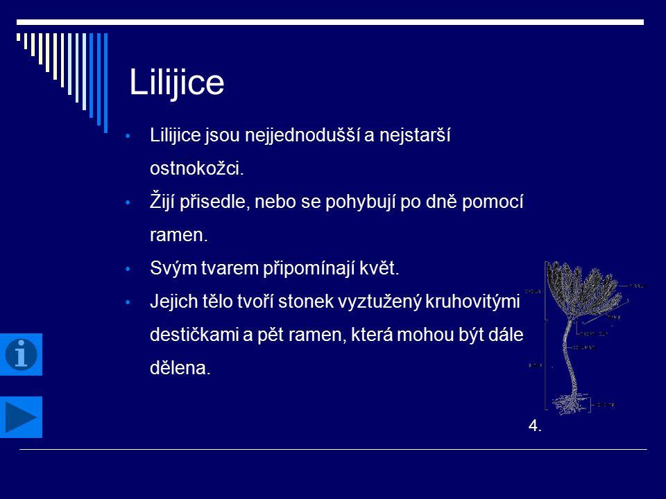 Lilijice Lilijice jsou nejjednodušší a nejstarší ostnokožci. Žijí přisedle, nebo se pohybují po dně pomocí ramen. Svým tvarem připomínají květ. Jejich