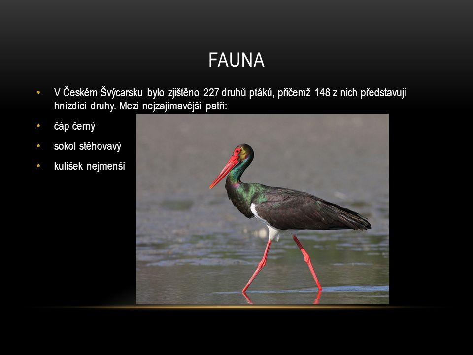 FAUNA V Českém Švýcarsku bylo zjištěno 227 druhů ptáků, přičemž 148 z nich představují hnízdící druhy. Mezi nejzajímavější patří: čáp černý sokol stěh