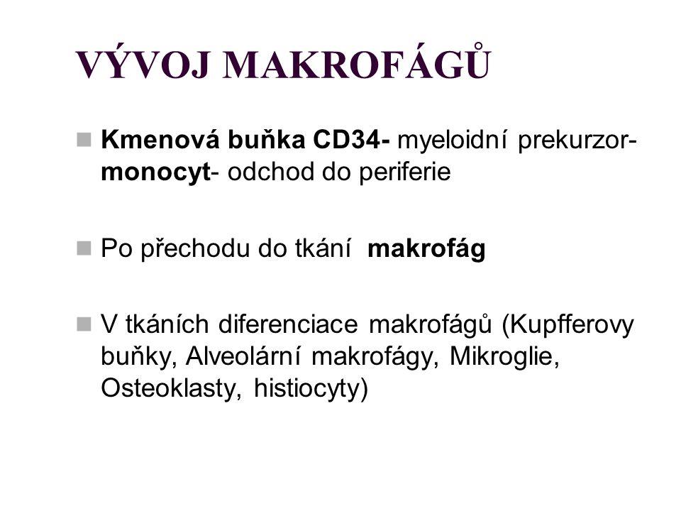VÝVOJ MAKROFÁGŮ Kmenová buňka CD34- myeloidní prekurzor- monocyt- odchod do periferie Po přechodu do tkání makrofág V tkáních diferenciace makrofágů (