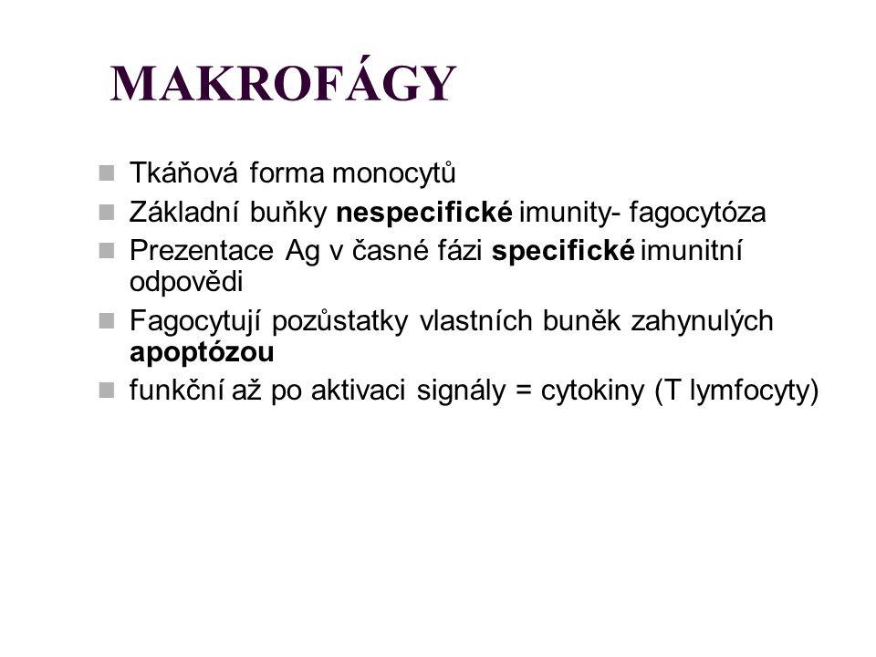 MAKROFÁGY Tkáňová forma monocytů Základní buňky nespecifické imunity- fagocytóza Prezentace Ag v časné fázi specifické imunitní odpovědi Fagocytují po